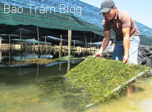 nuôi trồng rong nho biển